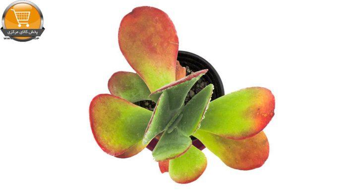 ساکولنت کاتالیدون کالانکوئه سایز 10 | پخش کالای مرکزی