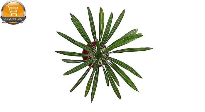کاکتوس نخل ماداگاسکار سایز 8 | پخش کالای مرکزی