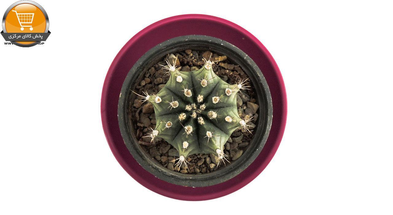 کاکتوس ژمینو شکلاتی سایز 8 | پخش کالای مرکزی
