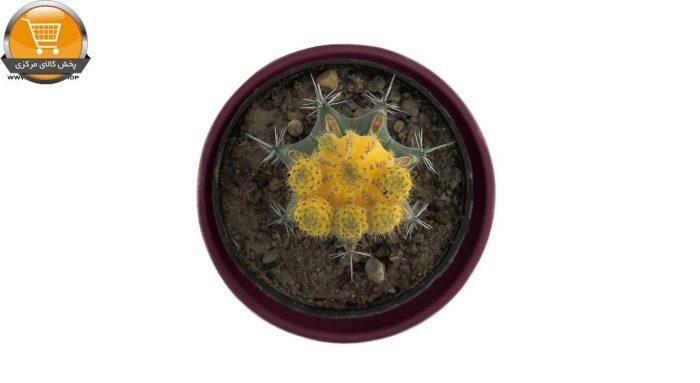 کاکتوس پیوندی با پیوندک پسیس ابلغ زرد سایز 10 | پخش کالای مرکزی